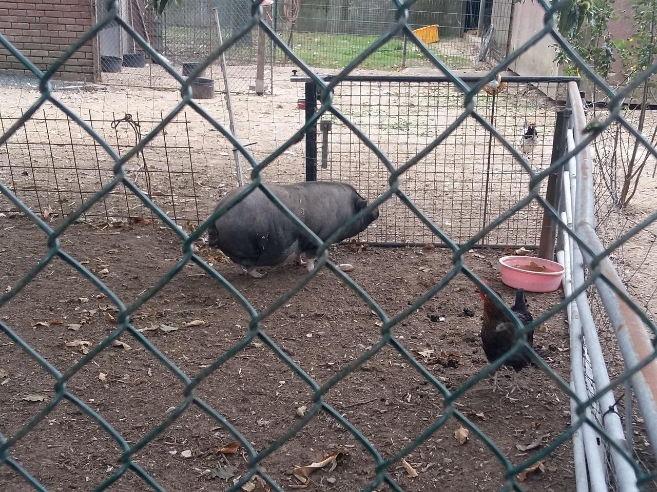 돼지와 닭 돼지와 닭을 이렇게 놓아 기르는 것이 인상적이다.