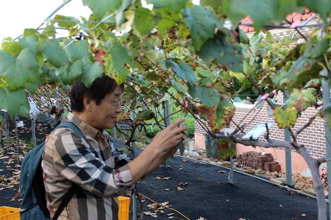 정의선 포도농원에 동행했던 전재경 박사, 분양받은 포도나무 사진을 찍어 지인들에게 보내느라 정신 없습니다.