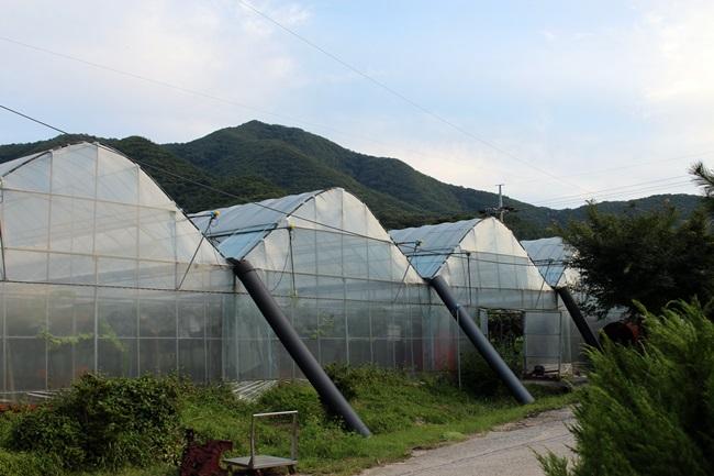 유기농 포도, 비닐하우스에서 재배되는 포도와 노지 포도는 당도 차이가 확실하답니다. 그래서 농사에 땀이 들어가는 게지요.