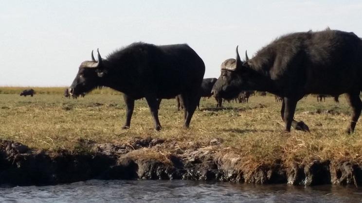 초베강변의 물소들 초베강변의 너른 풀밭에에는 몇 백 마리의 물소들이 무리를 이루어 지내고 있었다. 이렇게 많은 소들이 먹을 풀이 있다는 것이 신기할 정도였다.