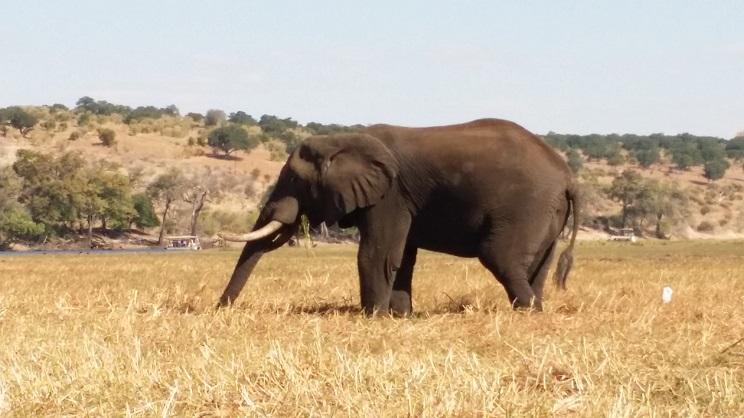 아프리카 코끼리의 늠름한 모습 이곳 강변에는 겨울이어도 파란 풀들이 많아서 코끼리들이 그 풀을 뜯는 모습이 많이 눈에 들어왔다.