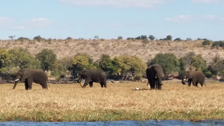 코끼리 떼 코끼리들은 대체로 이렇게 무리를 지어 생활하고 있었다.