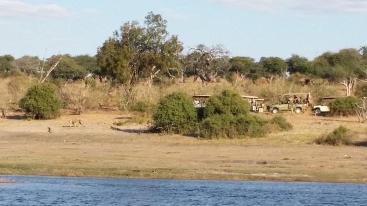 사자와 사파리 강에서 가까운 관목 사이로 사자 두 마리가 어슬렁거리며 지나가는 모습을 사파리 차량들이 몰려들어 관찰하고 있다. 멀어서 사진에는 잘 잡히지 않았다.