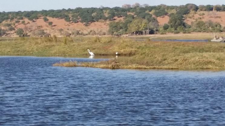 먹이를 쫓는 백로 우리나라의 대백로와 같은 새가 강가에서 먹이를 포획하기 위하여 자세를 웅크리고 기다리고 있다.