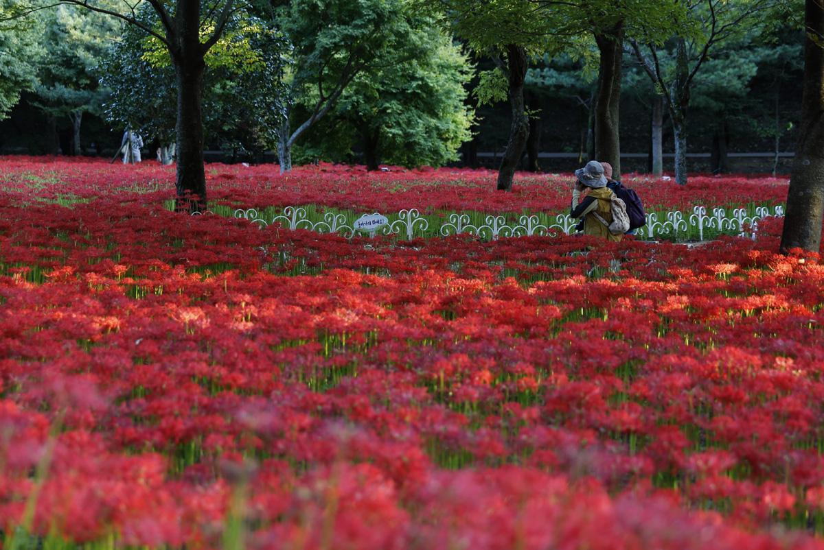 절집 주변을 붉디붉은 선홍빛으로 물들인 꽃무릇. 지난 9월 21일 오후 영광 불갑사 풍경이다.