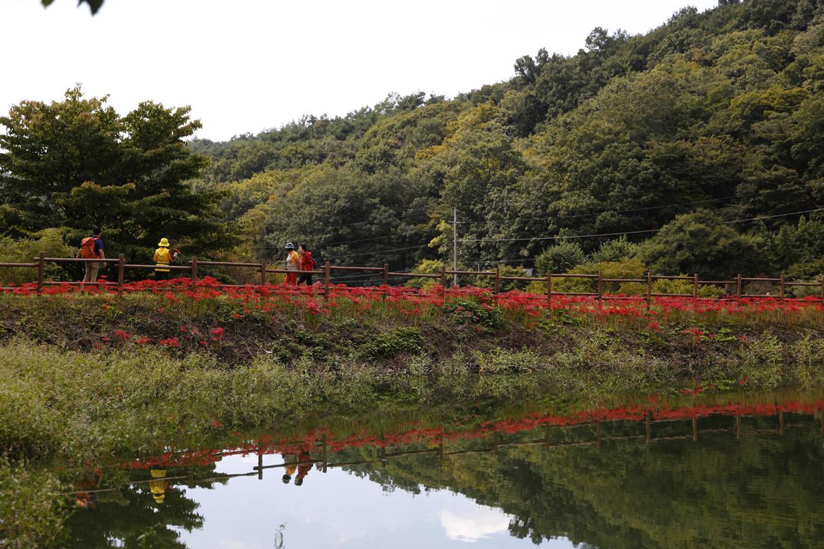 함평 용천사 입구 저수지 물에 반영된 선홍빛 꽃무릇. 둔치를 따라 여행객들이 거닐고 있다.