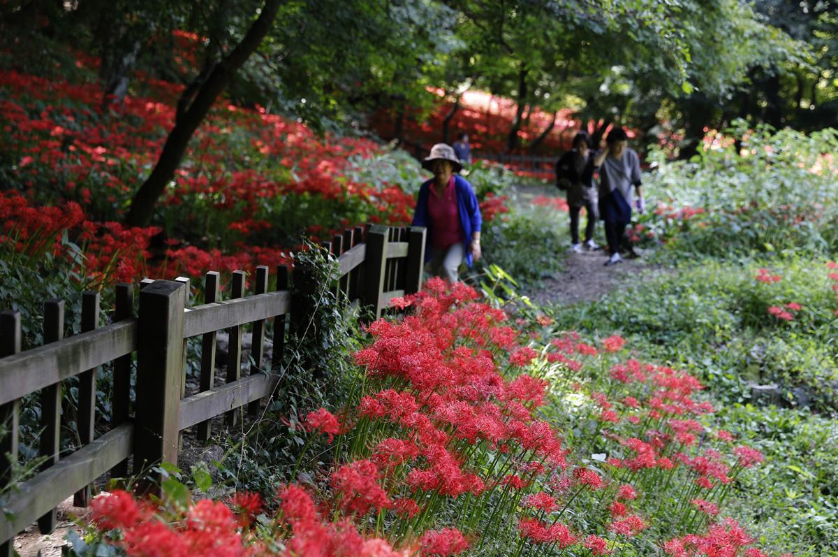 절집 용천사 주변에 난 산책로. 그 길을 따라 여행객들이 거닐며 꽃무릇을 감상하고 있다.