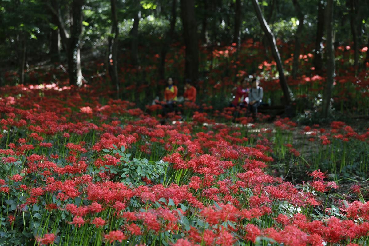 용천사 꽃무릇 군락지 풍경. 여행객들이 삼삼오오 앉아 선홍빛 꽃무릇에 취하고 있다.