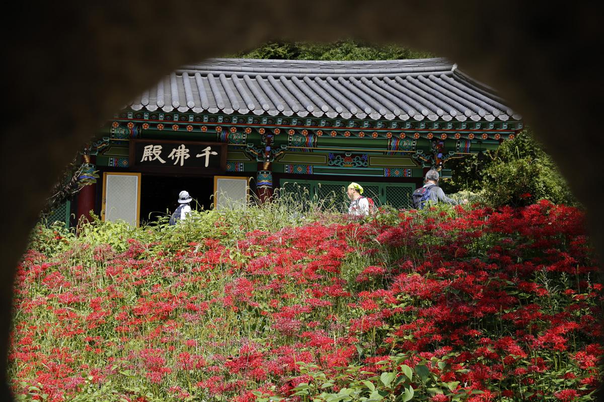 용천사 천불전 앞에도 꽃무릇이 흐드러져 있다. 대웅전 옆 석등 사이로 본 풍경이다.