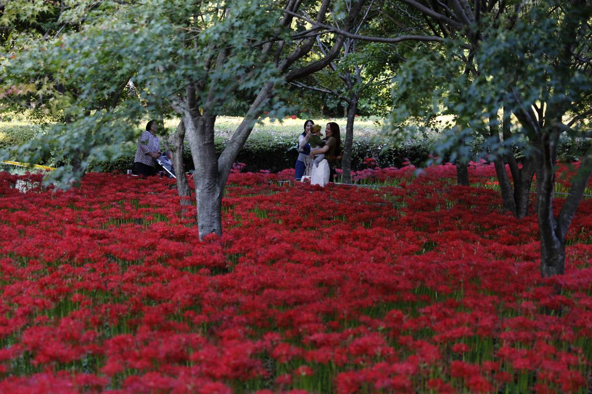 영광 불갑사의 선홍빛 꽃탄자. 그 길에서 여행객들이 꽃무릇의 정취를 만끽하고 있다.