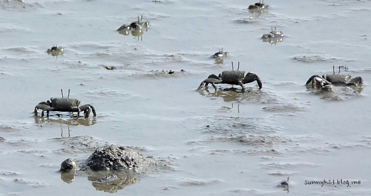 썰물때면 궁평 해변에 나타나는 수많은 게들.