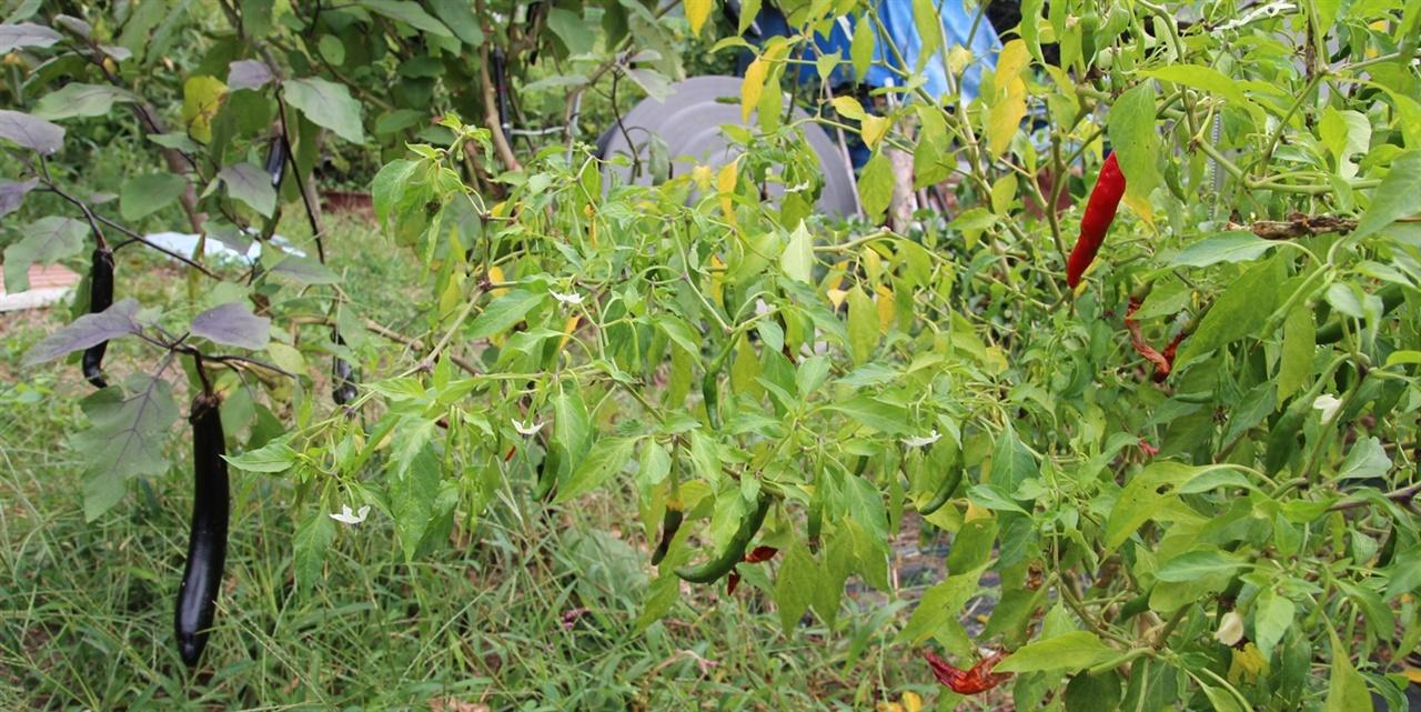 농원에는 가지와 고추가 주렁주렁 열렸습니다. 고추는 붉게 익어갑니다.