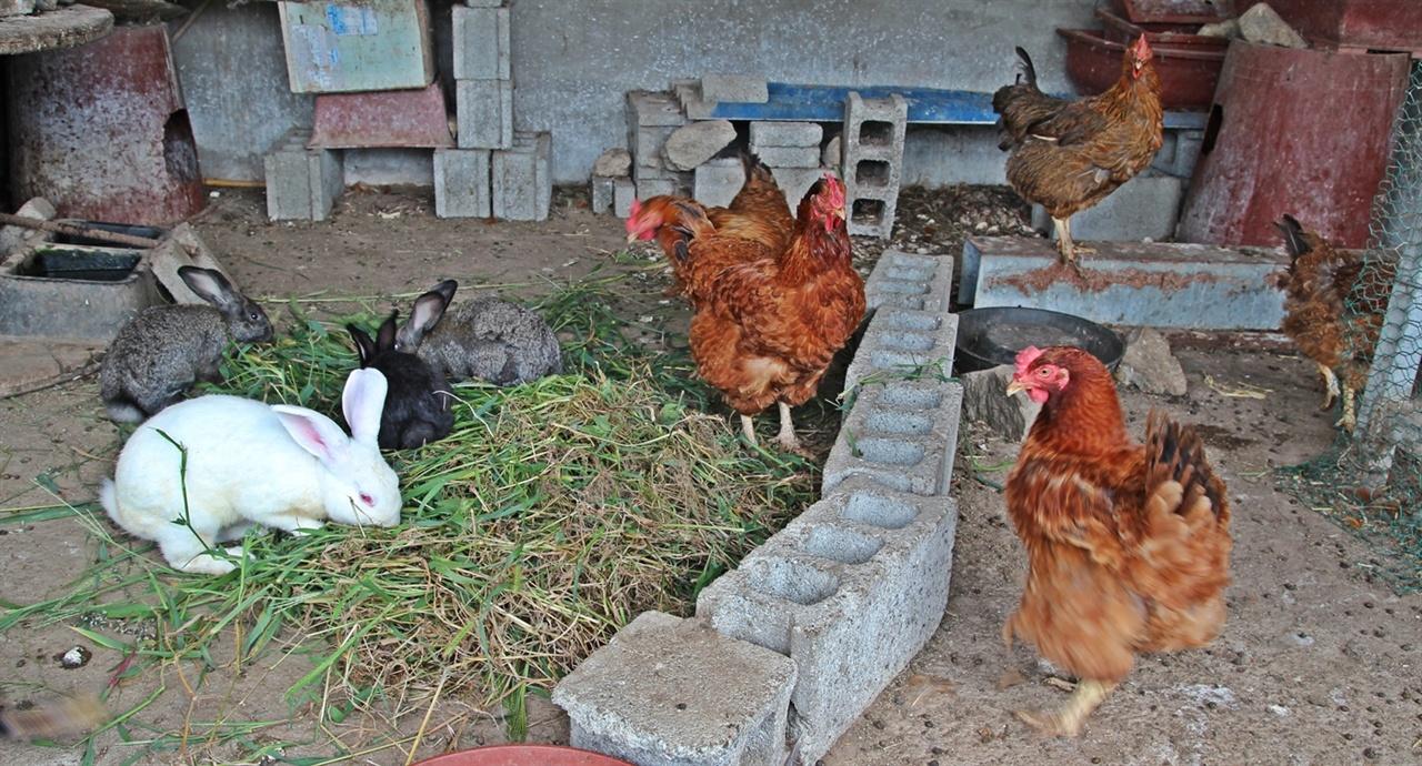 고향집 닭장에는 닭과 토끼가 사이좋게 한데 어울려삽니다.