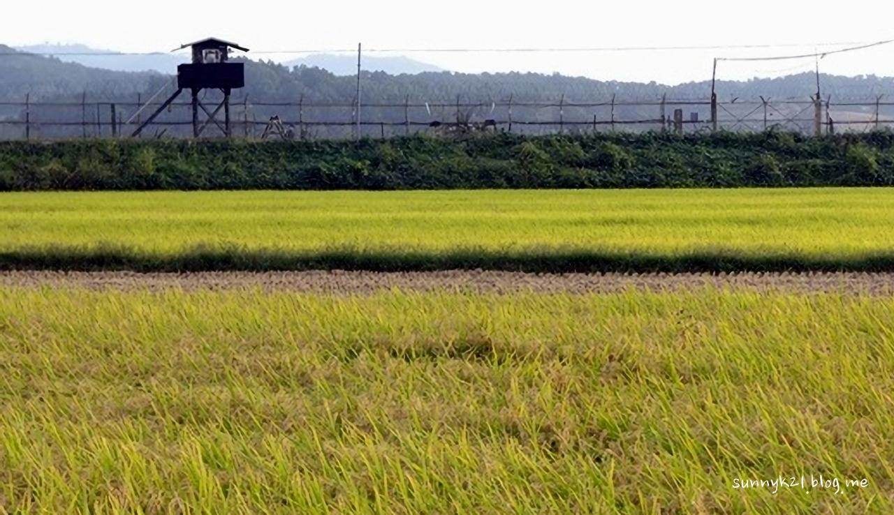 민통선 철책과 배부른 논이 공존하는 문산읍 장산리 풍경.