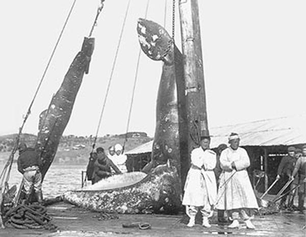 한반도 근해에서 일본 포경회사가 포획한 귀신고래 앞에서 사진을 찍고 있는 조선인들.