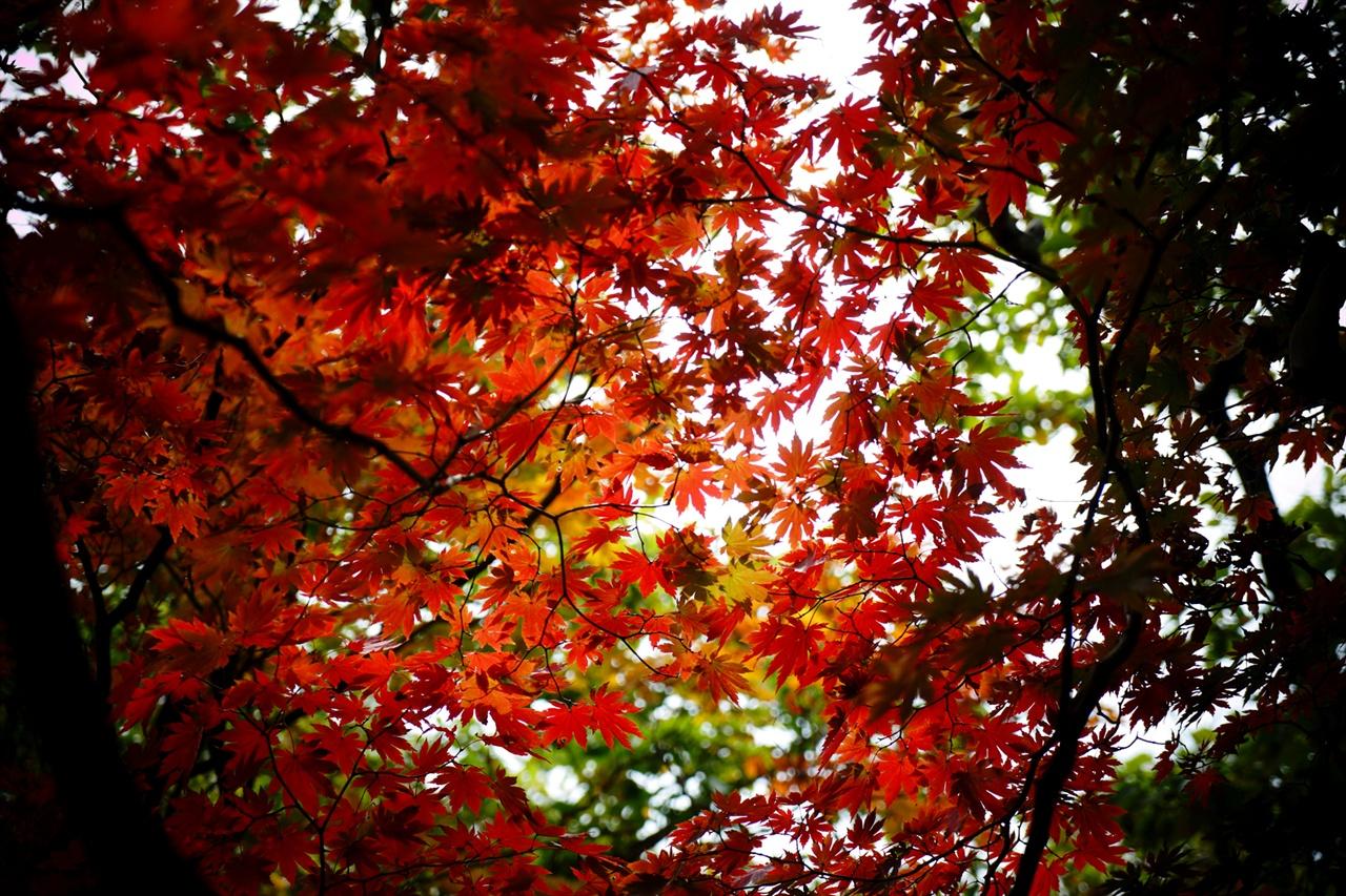 오봉 아래서 만난 붉은 단풍