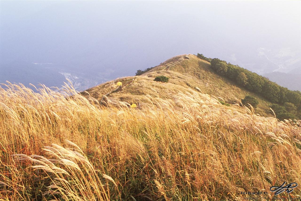 황금빛 억새 (PentaxLX/AgfaCT100) 서쪽에서 비스듬하게 들어오는 햇빛은 점점 노란 색을 띤다.