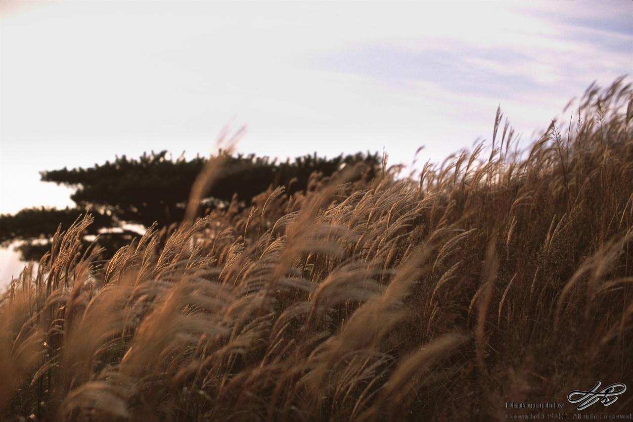 억새와 소나무 (LX/CT100)석양빛에 물든 억새가 바람에 날리고 있다.