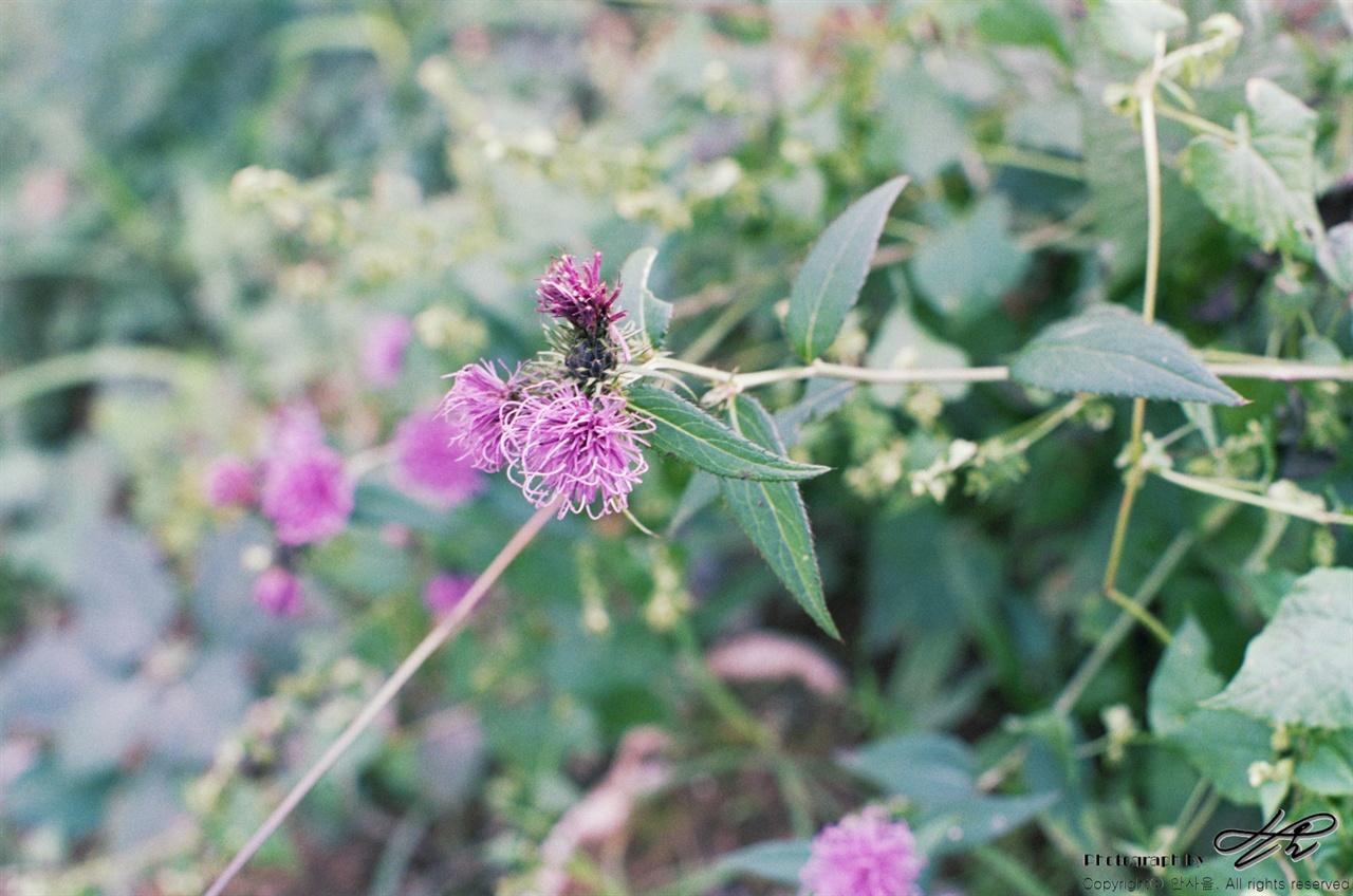 곤드레나물 (LX/Premium400)짐이 없어 나를 추월하시던 한 아주머니께서 이 식물이 곤드레나물이라는 것을 알려주셨다. 완선된 요리로만 보던 식물이었는데 실제 모습은 예상과 매우 달랐다. 보라색 예쁜 꽃 때문이었을 것이다.