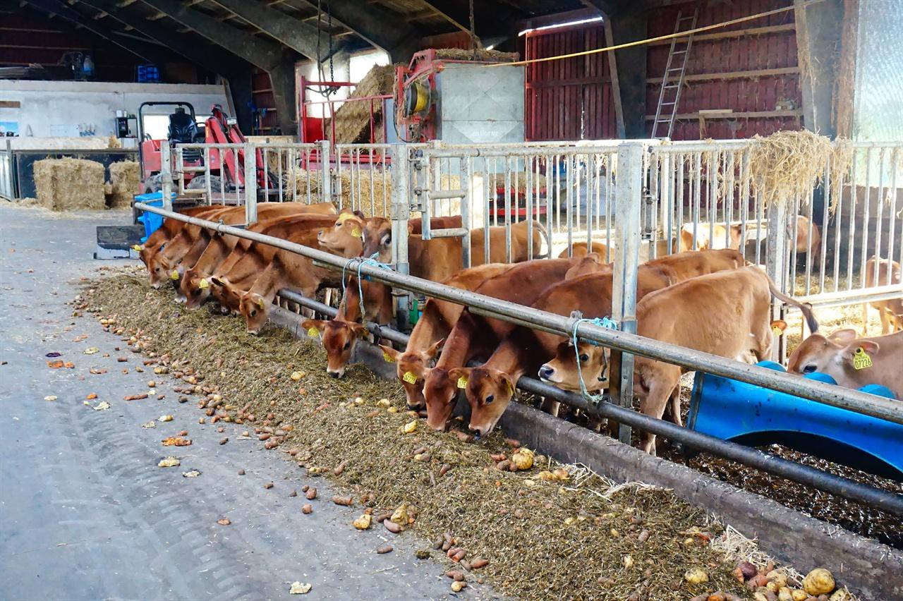 스반홀름에서는 120마리의 젖소를 키운다