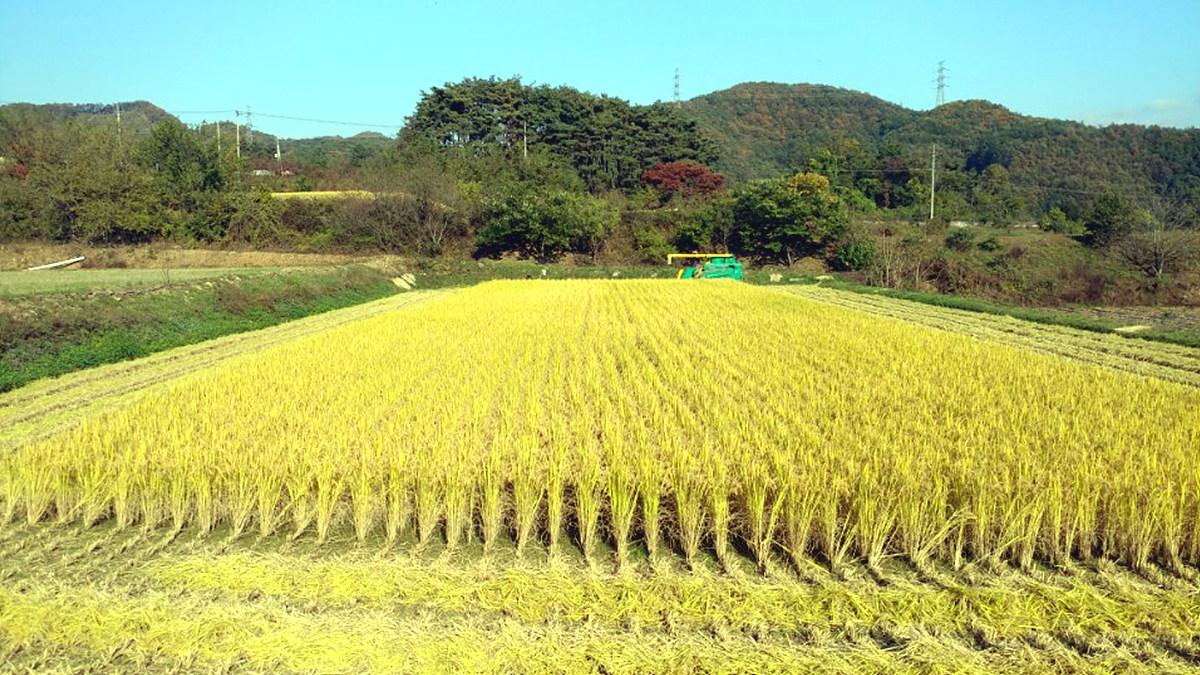 벼 수확 중인 유기농 황금들녘 가을 햇살을 받고 잘 익은 유기농 벼가 황금들녘을 이루고 있다
