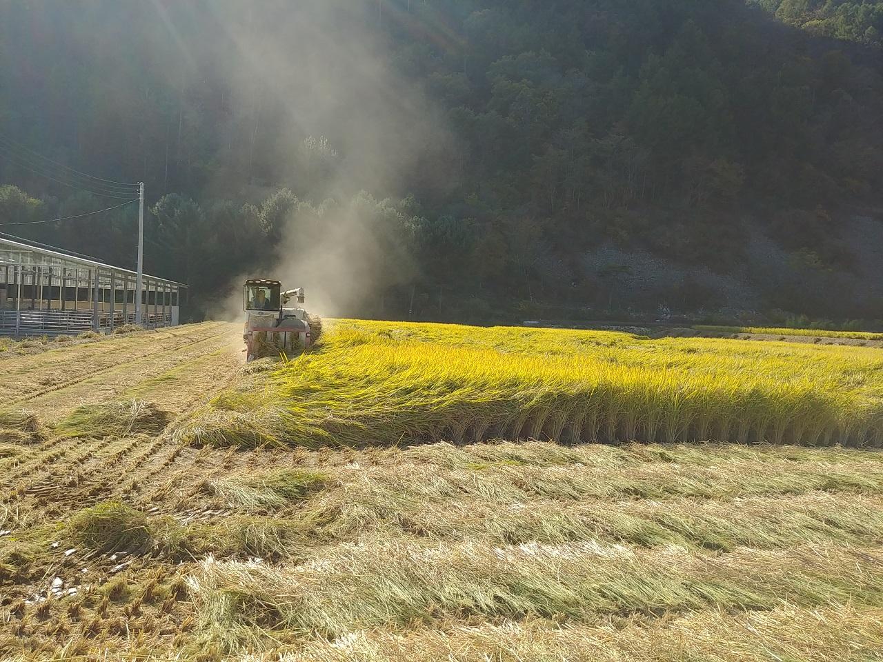 만생종인 삼광벼를 수확하는 모습이다.