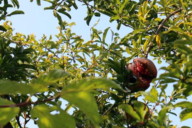 익어 벌어진 석류에 고만 마음을 빼앗겼다. 일선 스님, 기꺼이 나눠주셨다.