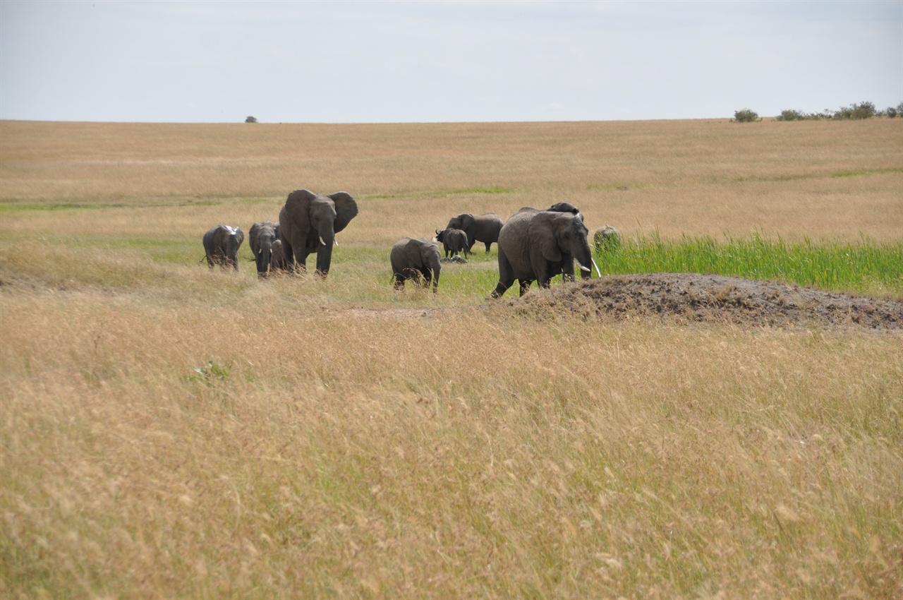 코끼리떼 초원을 누비는 코끼리떼