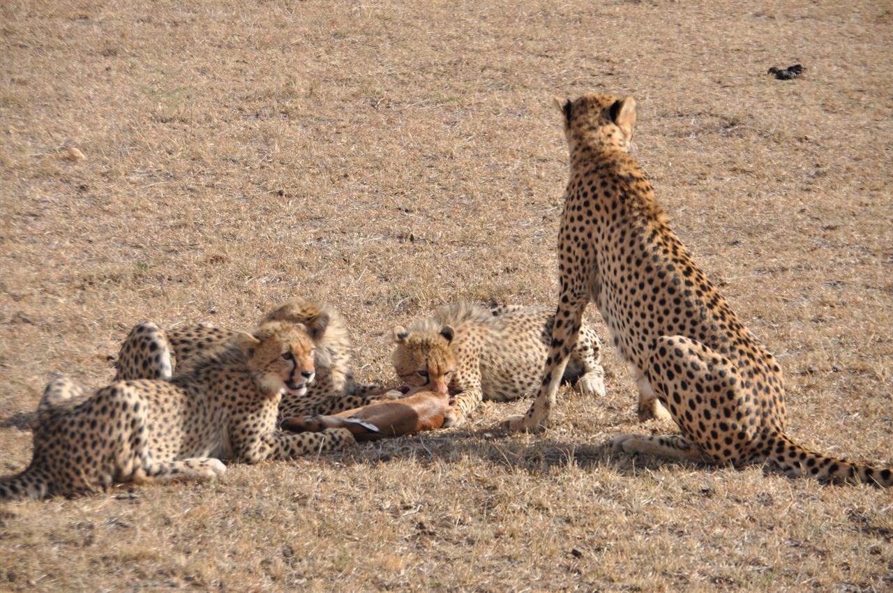 치타가족 사냥한 새끼 임팔라를 먹고있는 치타가족.