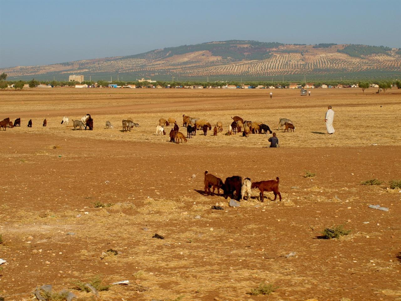 시리아 시민사진2 터키에서 국경을 너머 조금만 가면 너른 평야에서 가축들이 풀을 뜯고 올리브 나무가 숲을 이루고 있는 전형적인 시리아의 시골 풍경이 펼쳐진다