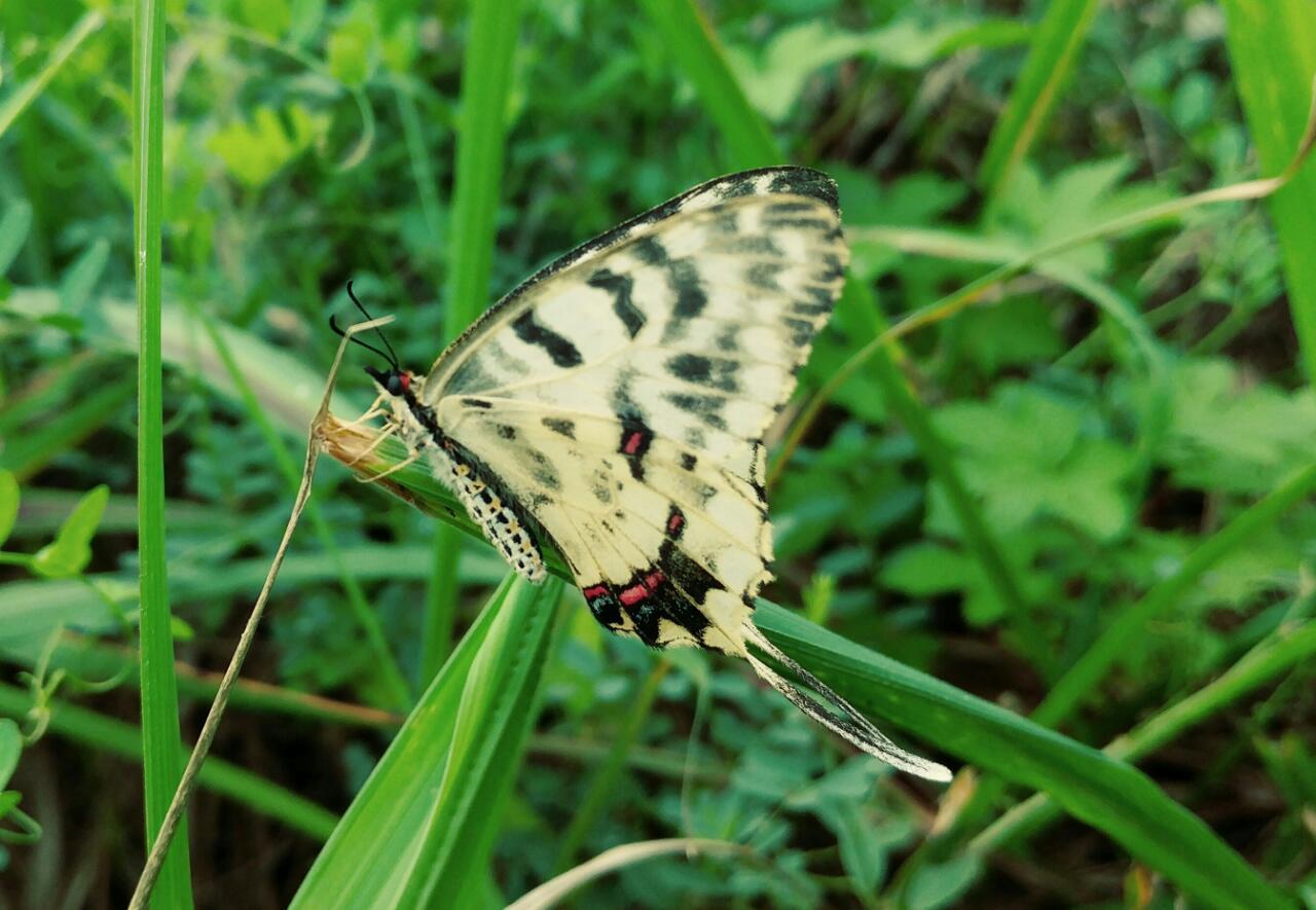 꼬리명주나비 수컷 여름형