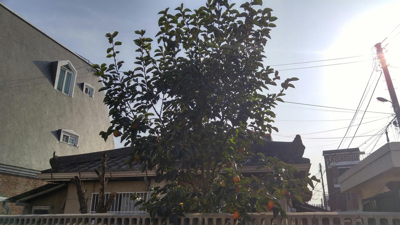 명주동 골목의 가을을 살찌우고 있는 감나무