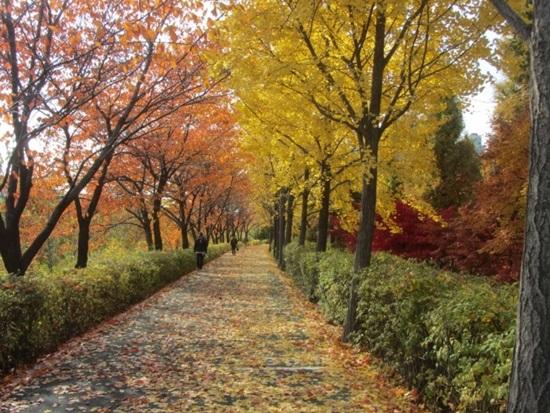 단풍 양재천 보행로 가을 단풍 절정