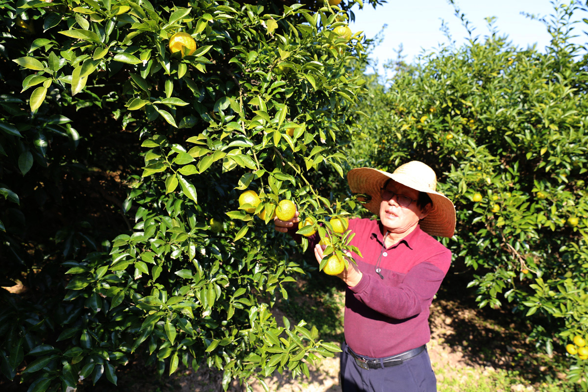 완도 고금도에서 제2의 인생을 살고 있는 강상묵 씨. 강 씨는 10년 전 이곳에 들어와 유자를 유기농 재배하며 마을을 유자고을로 바꿔놓았다.