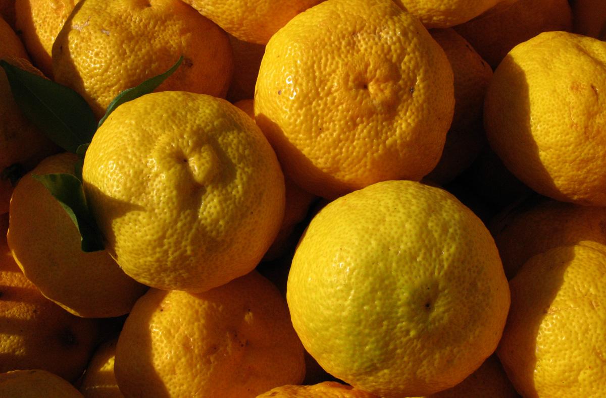 칼슘과 비타민이 풍부한 유자. 겨울철 감기는 물론 각종 성인병 예방에도 탁월한 효능을 지닌 웰빙 건강식품이다.