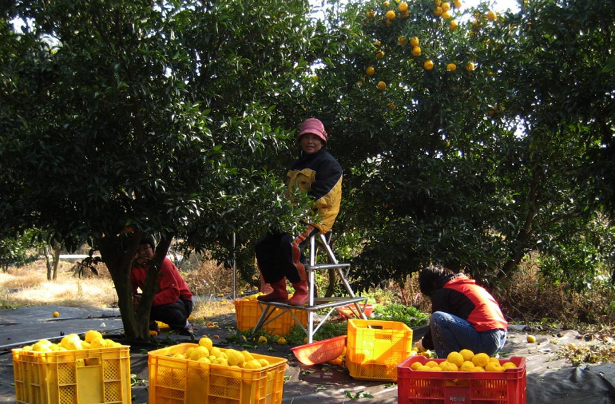 완도 청학동마을은 영농조합을 통해 공동 생산과 판매로 농민들의 소득을 높이고 있다. 2년 전 마을주민들의 유자 수확 모습이다.
