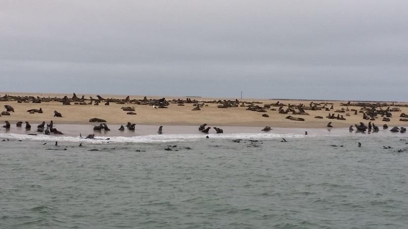 물개 떼 돌고래 크루즈를 나갔더니 해안가에는 이렇게 많은 물개들이 쉬고 있었다.