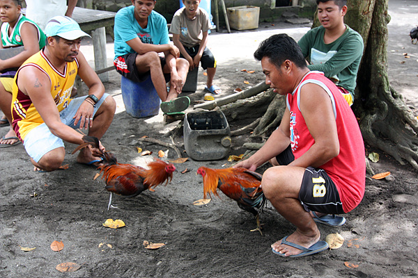 따알화산을 구경하고 내려오는 도중 마을 사람들이 닭싸움 시키는 장면을 목격했다