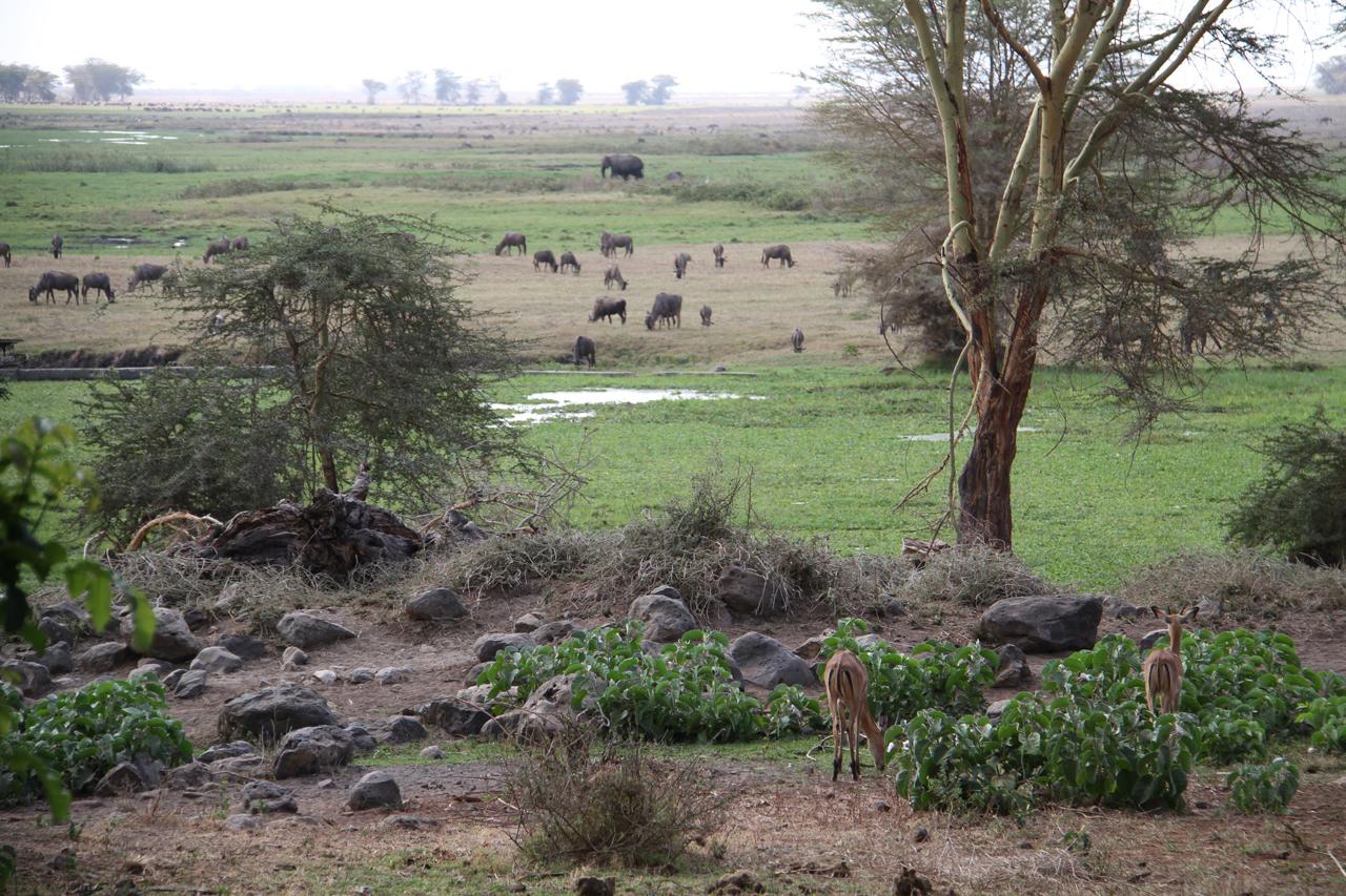 암보셀리의 롯지 바로 앞까지 들어와 풀을 뜯는 영양, 소떼, 코끼리떼 등 헤밍웨이가 만났을 동물들.