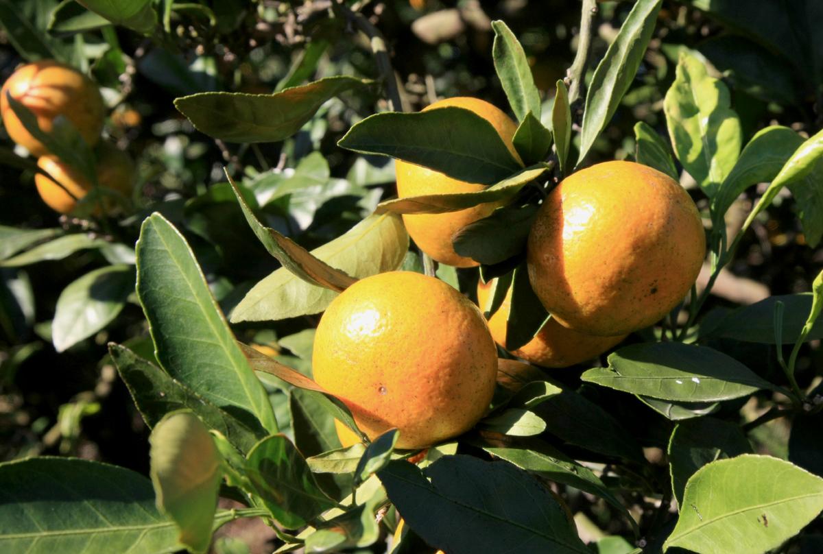 우리 국민들이 가장 좋아하는 과일 가운데 하나인 감귤. 맛과 영양, 효능도 탁월해 '국민과일'로 불러도 손색이 없다.