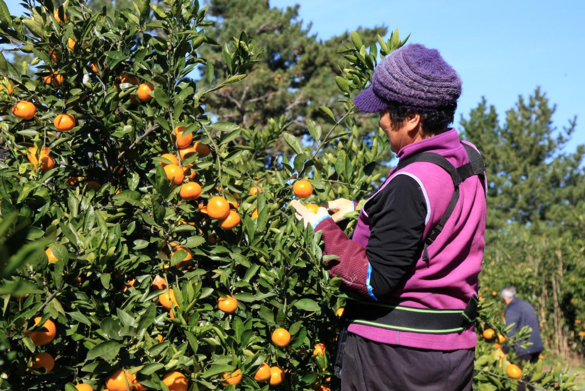 소안도 주민이 감귤을 수확하고 있다. 소안도에서는 이목리, 부상리를 중심으로 농가 45곳에서 감귤을 재배하고 있다.