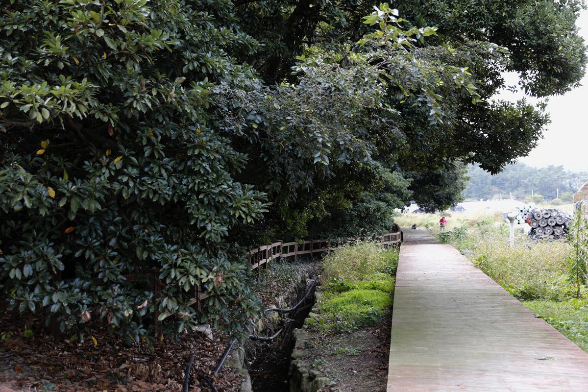 천연기념물로 지정돼 있는 소안도 미라리 상록수림. 갯돌해변과 어우러진 숲이 아름답다.