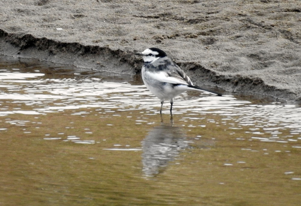 물 밖으로 드러난 모래톱에 나타난 '백할미새'다.