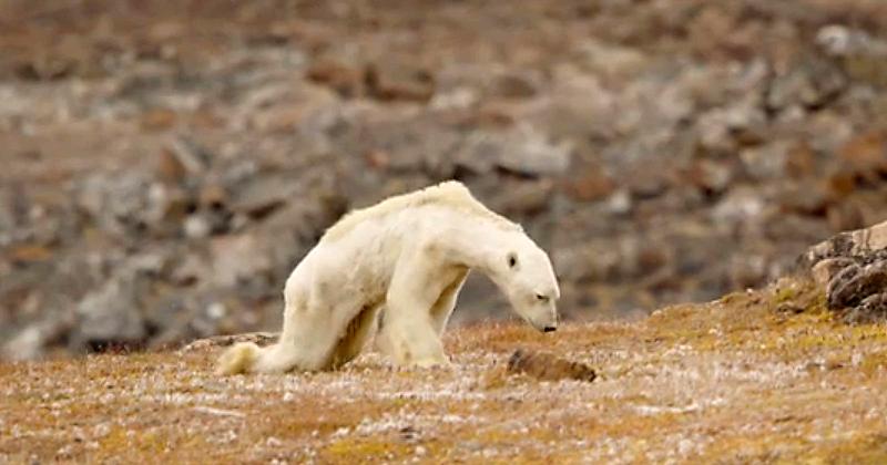 굶주린 북극곰