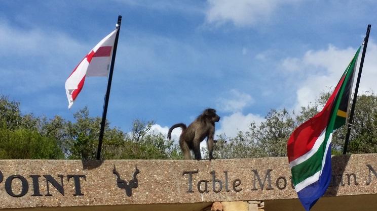 케이프 포인트 조형물의 원숭이 '케이프 포인트'를 알리고 조형물의 이곳 남부아프리카에 살고 있는 '비비'원숭이는 사람들도 아랑곳하지 않고 여유를 부린다.
