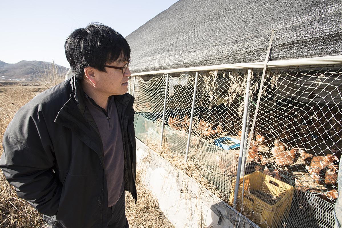 장진씨는 닭들에게 모이를 주는 것으로 하루 일과를 시작한다. 지난 해 장씨의 농원은 AI 때문에 예방적 살처분 조치를 당해야 했다.