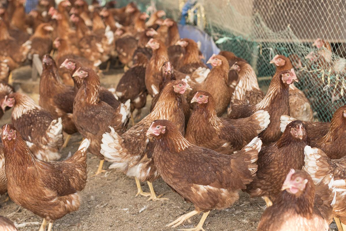 햇살농원 장진씨는 닭들을 풀어 키운다. 지난 해 장씨의 농원은 AI 때문에 예방적 살처분 조치를 당해야 했다.