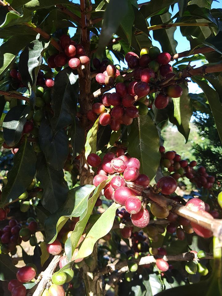 달랏 인근의 농촌에는 커피농장이 많다.