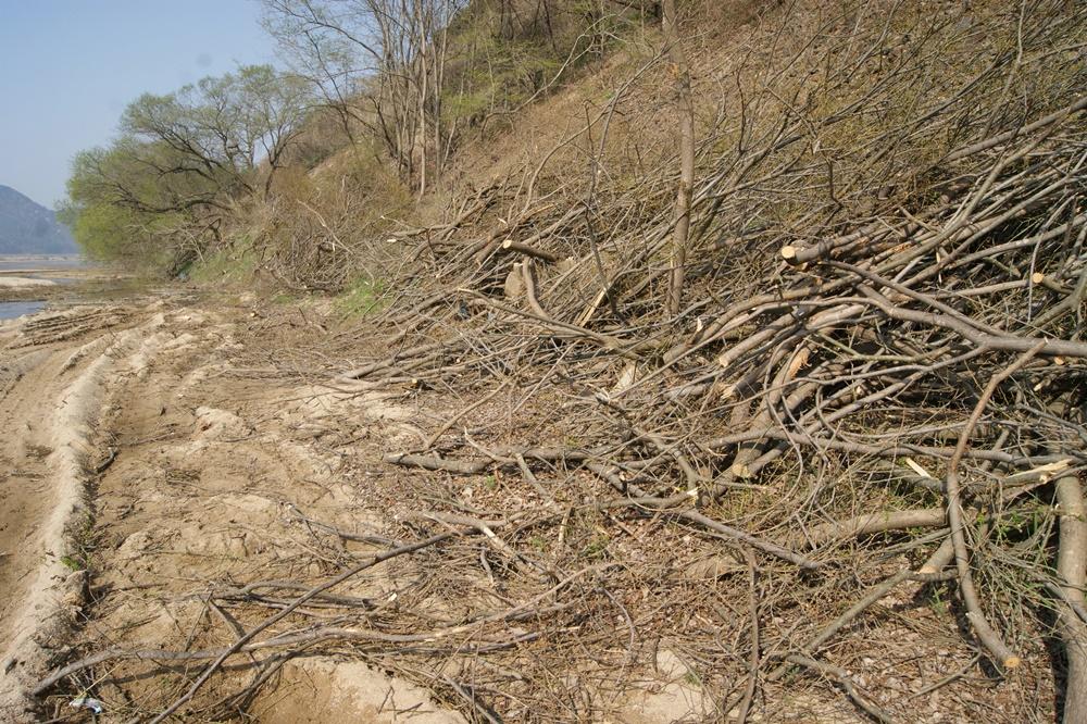 예천군 오신교에서 미호교 2.5킬로미터 구간에 이르는 왕버들 군락이 무참히 베어졌다.