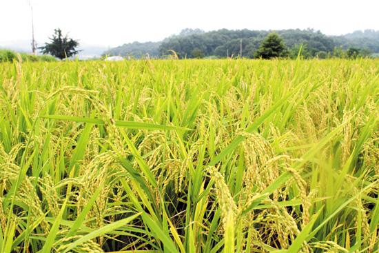 당진 예당평야에서 자라고 있는 쌀 당진신문 제공